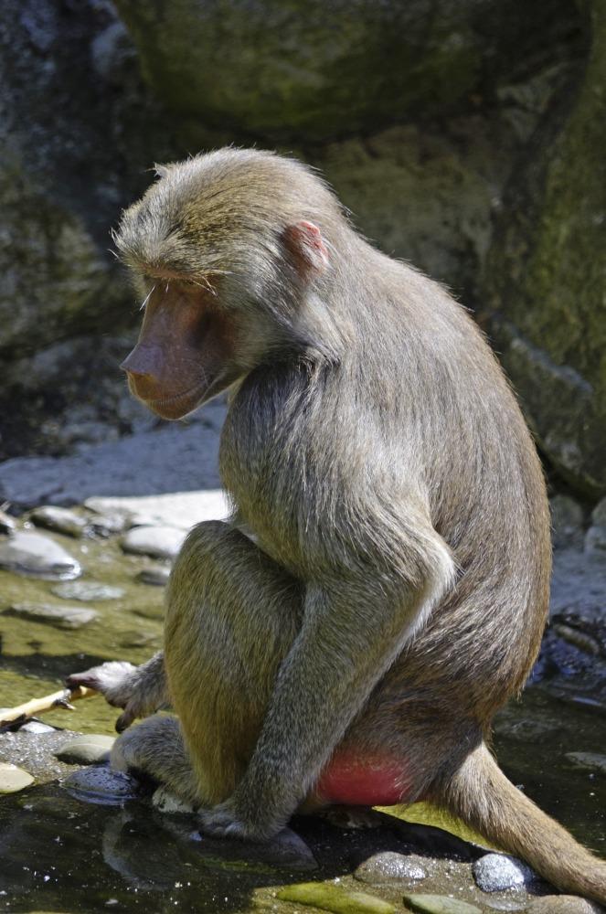 baboon-1336570_1920
